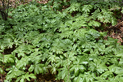 Mayapple (Podophyllum peltatum) at Homestead Gardens