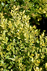 Tide Hill Boxwood (Buxus microphylla 'Tide Hill') at Homestead Gardens