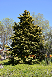 Confucius Hinoki Falsecypress (Chamaecyparis obtusa 'Confucius') at Homestead Gardens