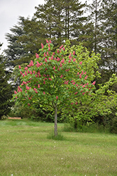 Fort McNair Red Horse Chestnut (Aesculus x carnea 'Fort McNair') at Homestead Gardens