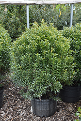 Compact Inkberry Holly (Ilex glabra 'Compacta') at Homestead Gardens