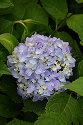 Let's Dance® Moonlight Hydrangea (Hydrangea macrophylla 'Robert') at Homestead Gardens