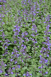 Blue Wonder Catmint (Nepeta x faassenii 'Blue Wonder') at Homestead Gardens