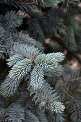 Hoopsii Blue Spruce (Picea pungens 'Hoopsii') at Homestead Gardens