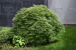 Green Hornet Cutleaf Japanese Maple (Acer palmatum 'Green Hornet') at Homestead Gardens