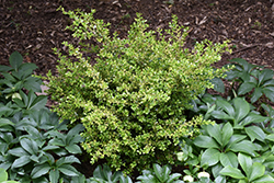 Golden Dream Boxwood (Buxus microphylla 'Peergold') at Homestead Gardens
