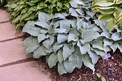 Blue Wedgewood Hosta (Hosta 'Blue Wedgewood') at Homestead Gardens