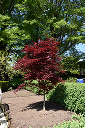 Fireglow Japanese Maple (Acer palmatum 'Fireglow') at Homestead Gardens