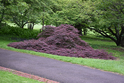 Garnet Cutleaf Japanese Maple (Acer palmatum 'Garnet') at Homestead Gardens