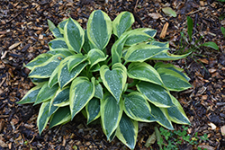 Wolverine Hosta (Hosta 'Wolverine') at Homestead Gardens