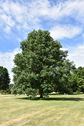 Swamp White Oak (Quercus bicolor) at Homestead Gardens