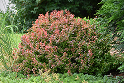 Admiration Japanese Barberry (Berberis thunbergii 'Admiration') at Homestead Gardens
