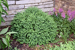 Chicagoland Green Boxwood (Buxus 'Glencoe') at Homestead Gardens