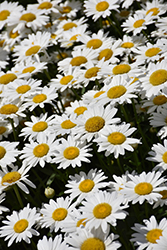 Becky Shasta Daisy (Leucanthemum x superbum 'Becky') at Homestead Gardens
