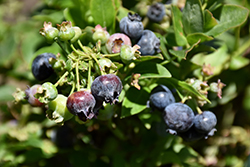 Jelly Bean® Blueberry (Vaccinium 'ZF06-179') at Homestead Gardens