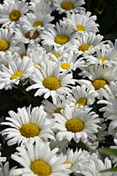 Daisy May® Shasta Daisy (Leucanthemum x superbum 'Daisy Duke') at Homestead Gardens