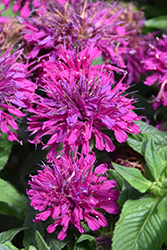 Grape Gumball Beebalm (Monarda 'Grape Gumball') at Homestead Gardens