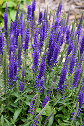 Hocus Pocus Speedwell (Veronica 'Hocus Pocus') at Homestead Gardens