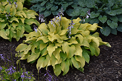 Sun Power Hosta (Hosta 'Sun Power') at Homestead Gardens