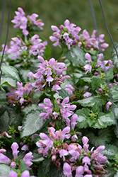 Pink Chablis® Spotted Dead Nettle (Lamium maculatum 'Checkin') at Homestead Gardens