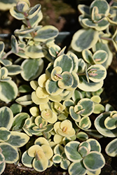 Lime Twister Stonecrop (Sedum 'Lime Twister') at Homestead Gardens