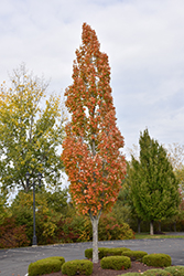 Armstrong Maple (Acer x freemanii 'Armstrong') at Homestead Gardens