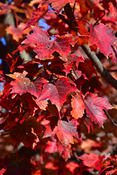 Autumn Flame Red Maple (Acer rubrum 'Autumn Flame') at Homestead Gardens