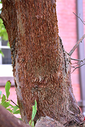 Gingerbread Paperbark Maple (Acer 'Gingerbread') at Homestead Gardens