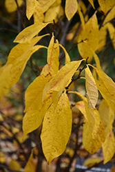 Spicebush (Lindera benzoin) at Homestead Gardens