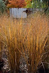Northwind Switch Grass (Panicum virgatum 'Northwind') at Homestead Gardens