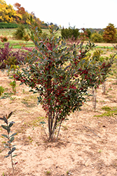 Brilliantissima Red Chokeberry (Aronia arbutifolia 'Brilliantissima') at Homestead Gardens