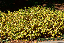 Arctic Sun® Dogwood (Cornus sanguinea 'Cato') at Homestead Gardens