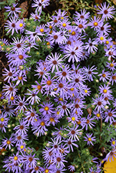 Raydon's Favorite Aster (Aster oblongifolius 'Raydon's Favorite') at Homestead Gardens