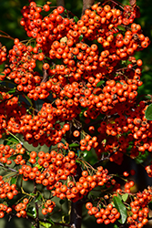 Mohave Firethorn (Pyracantha 'Mohave') at Homestead Gardens