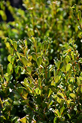 Schmidt Boxwood (Buxus sempervirens 'Schmidt') at Homestead Gardens