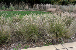 Karley Rose Oriental Fountain Grass (Pennisetum orientale 'Karley Rose') at Homestead Gardens
