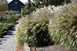 Gracillimus Maiden Grass (Miscanthus sinensis 'Gracillimus') at Homestead Gardens