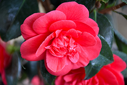 Rosehill Red Camellia (Camellia japonica 'Rosehill Red') at Homestead Gardens
