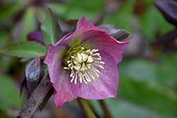 Red Lady Hellebore (Helleborus 'Red Lady') at Homestead Gardens