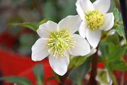 Gold Collection® Jacob Hellebore (Helleborus niger 'Jacob') at Homestead Gardens