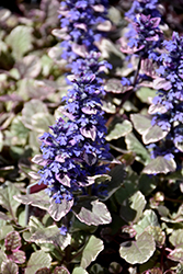 Burgundy Glow Bugleweed (Ajuga reptans 'Burgundy Glow') at Homestead Gardens