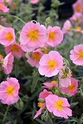 Wisley Pink Rock Rose (Helianthemum nummularium 'Wisley Pink') at Homestead Gardens