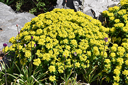 Cushion Spurge (Euphorbia polychroma) at Homestead Gardens