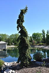 Weeping White Spruce (Picea glauca 'Pendula') at Homestead Gardens