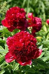 Red Charm Peony (Paeonia 'Red Charm') at Homestead Gardens