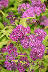 Flaming Mound Spirea (Spiraea japonica 'Flaming Mound') at Homestead Gardens