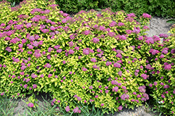 Double Play® Gold Spirea (Spiraea japonica 'Yan') at Homestead Gardens