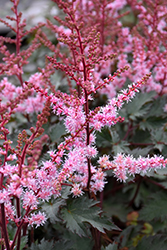 Delft Lace Astilbe (Astilbe 'Delft Lace') at Homestead Gardens