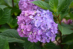 Bloomstruck® Hydrangea (Hydrangea macrophylla 'PIIHM-II') at Homestead Gardens