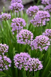 Summer Beauty Ornamental Chives (Allium tanguticum 'Summer Beauty') at Homestead Gardens